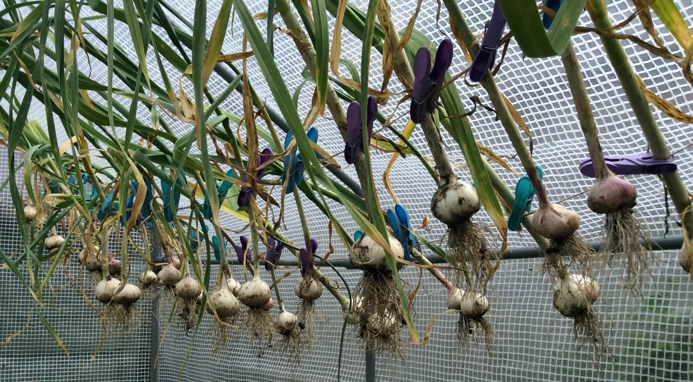 Garlicdrying