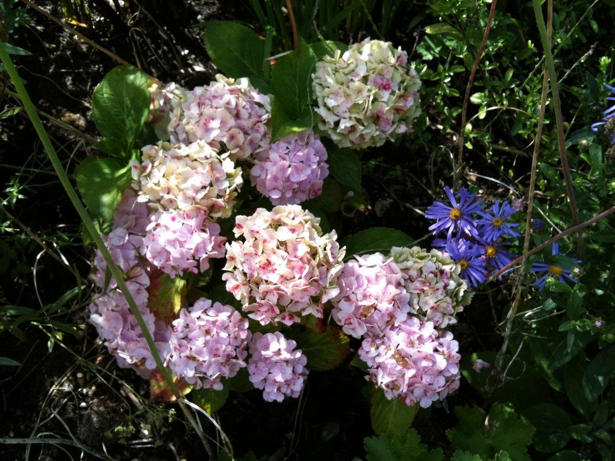 Hydrangea mophead