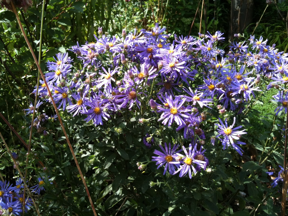 August aster