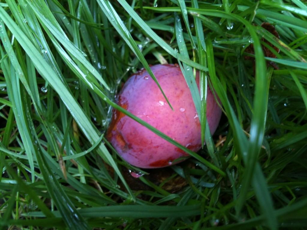 Fallen plum