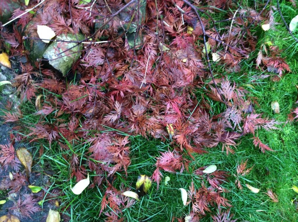 Acer fallen leaves
