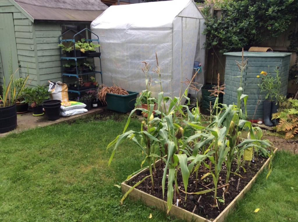 Sweetcorn bed