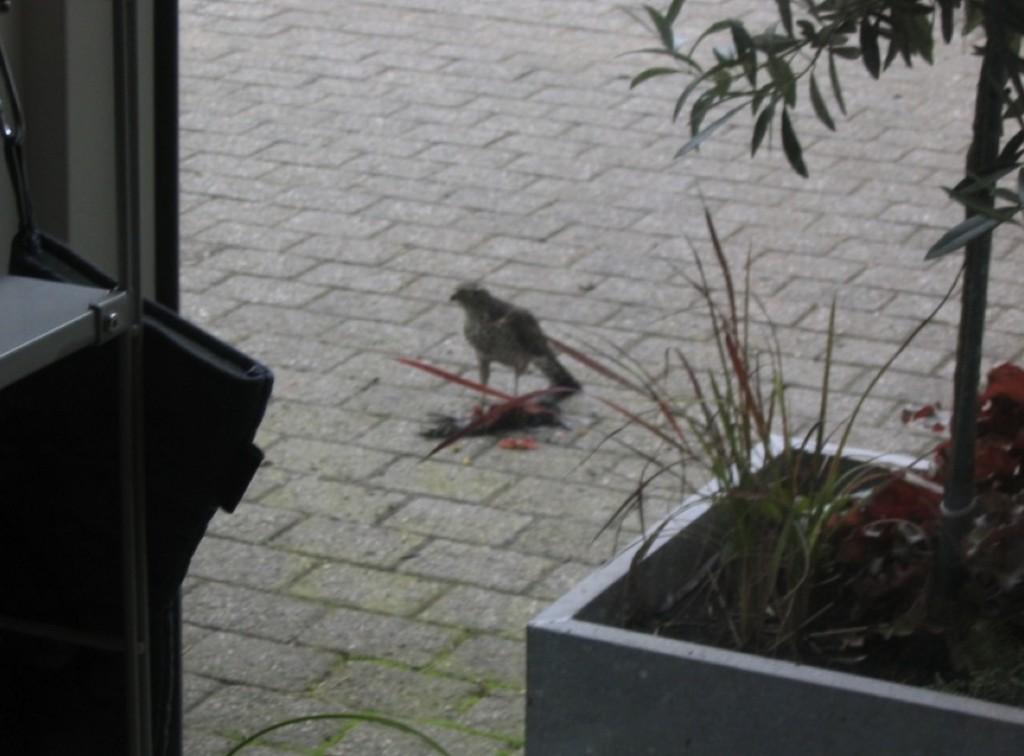 Kestrel or sparrowhawk