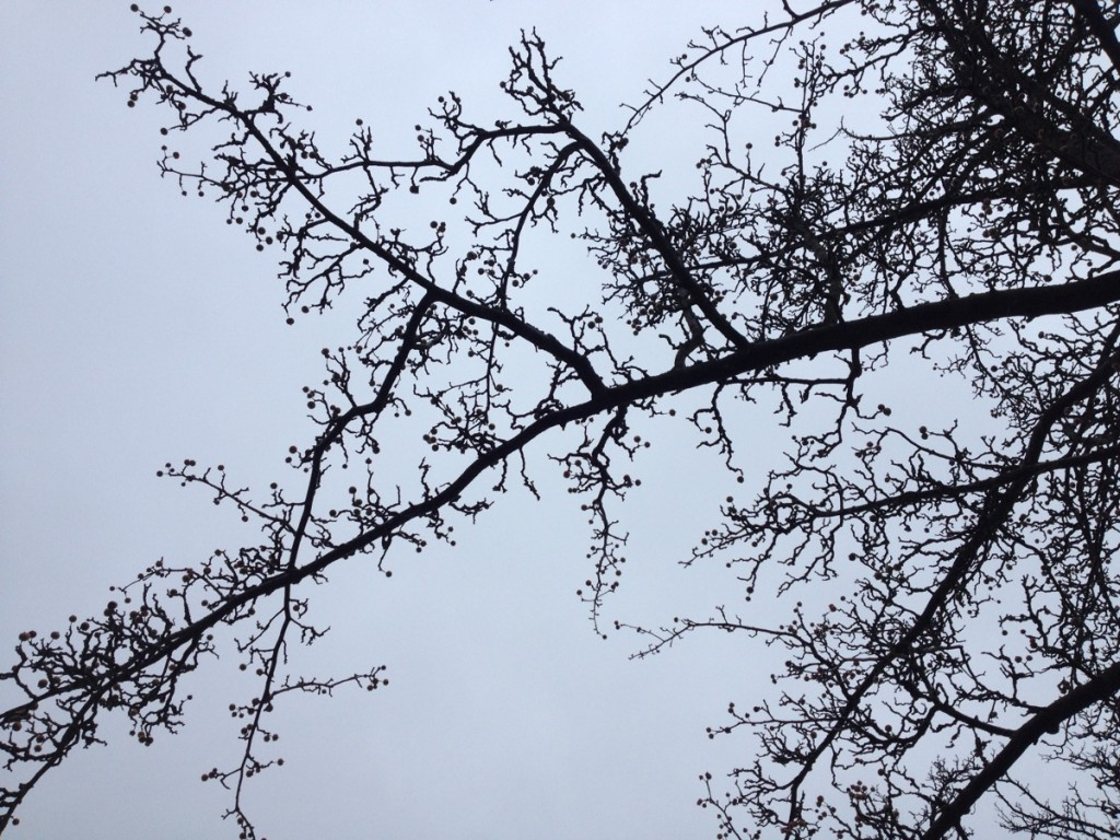 Crab apple branches