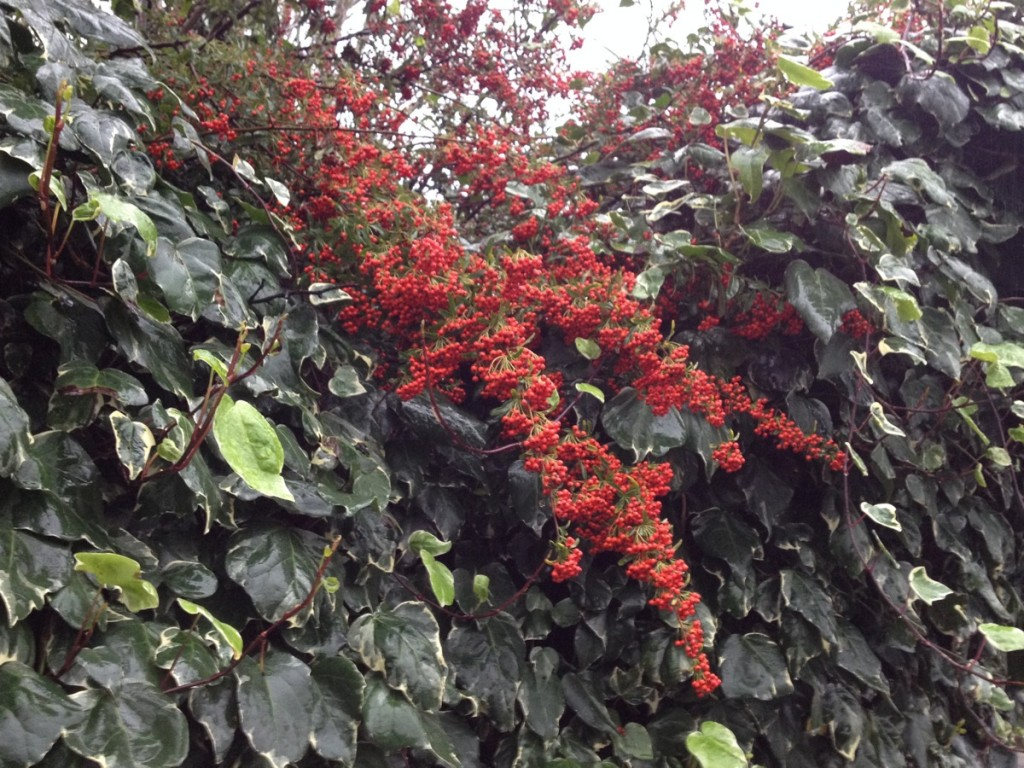 Red berries and ivy