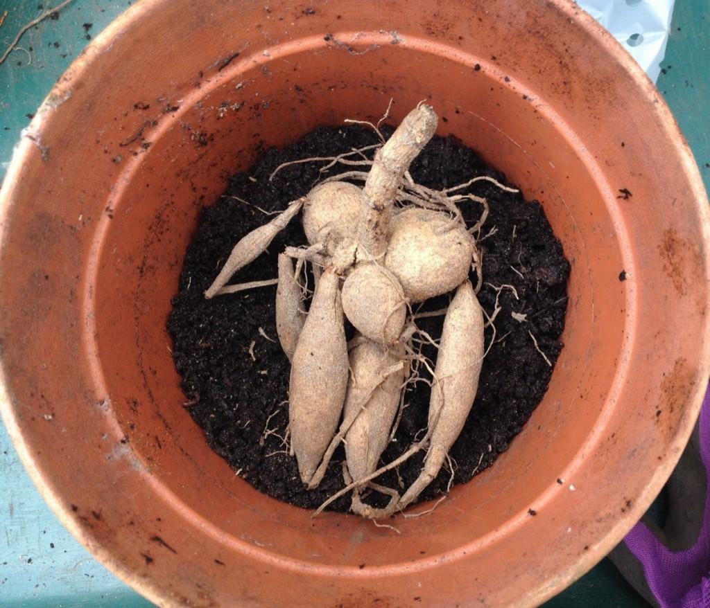Dahlia tuber in pot