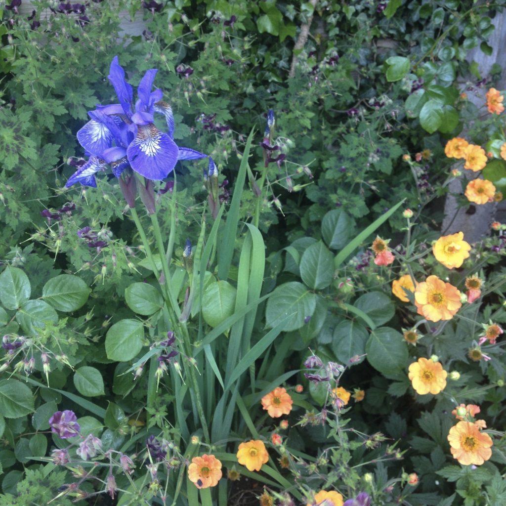 Iris and geum