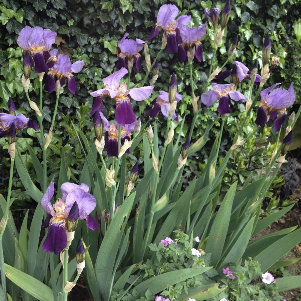 Iris purples 2