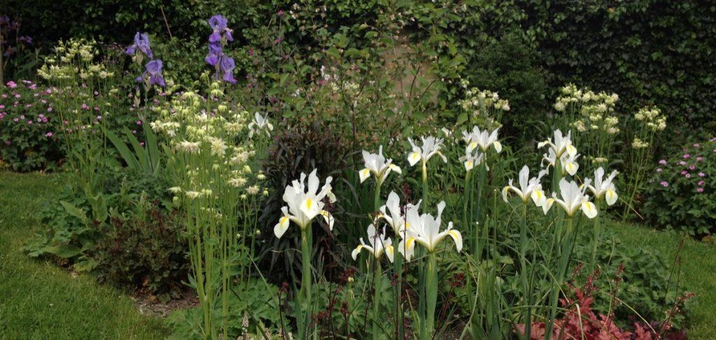 Irises in border