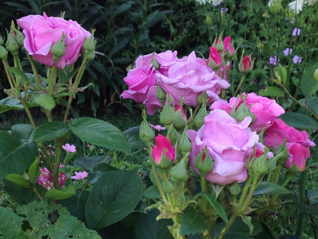 June rosa Lucky