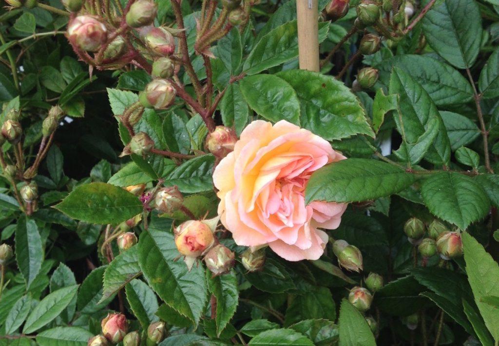 July musk rose