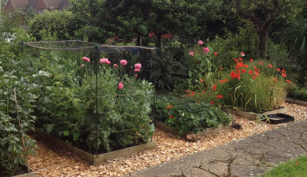 Poppies in veg patch