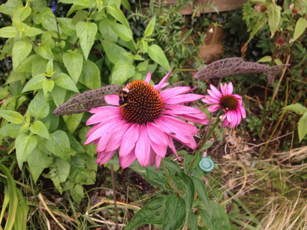 September Echinacea