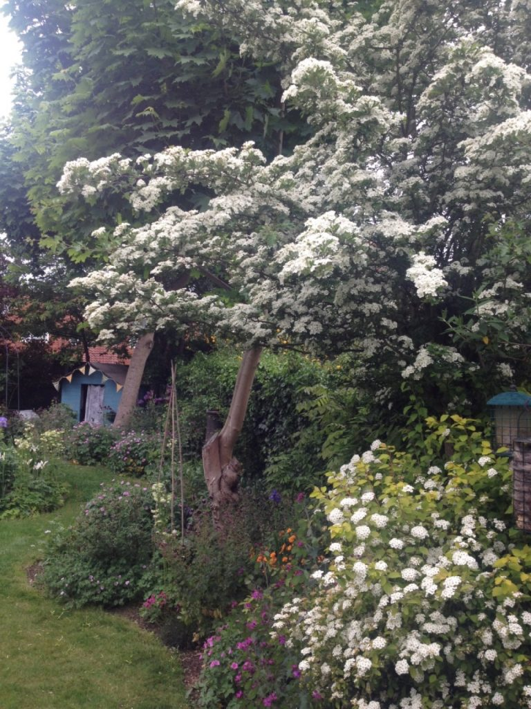 hawthorn-may-blossom