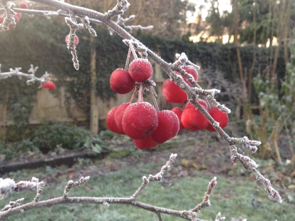 malus-winter