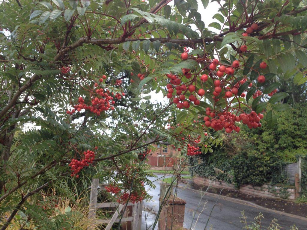 sorbus-october-berries