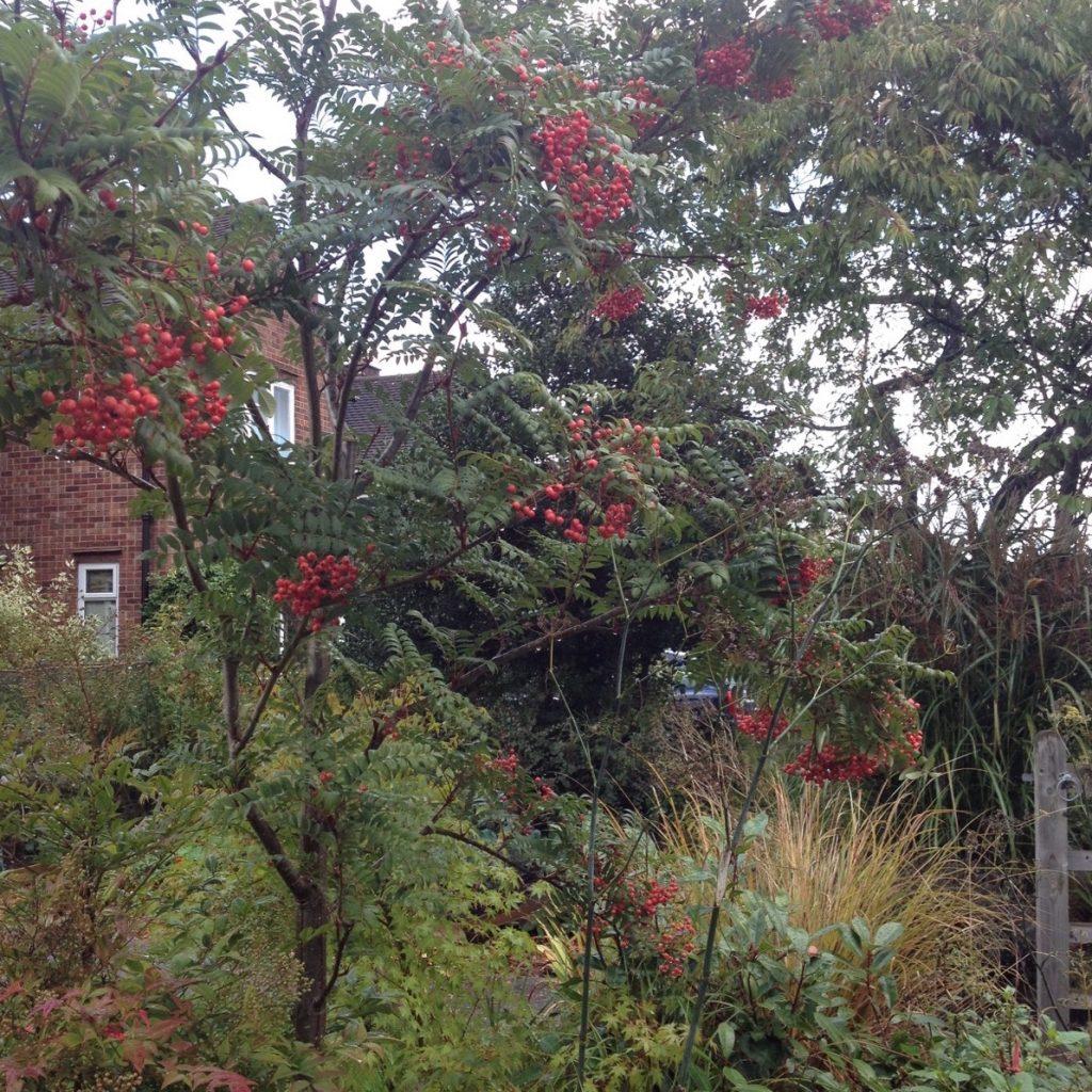 sorbus-tree