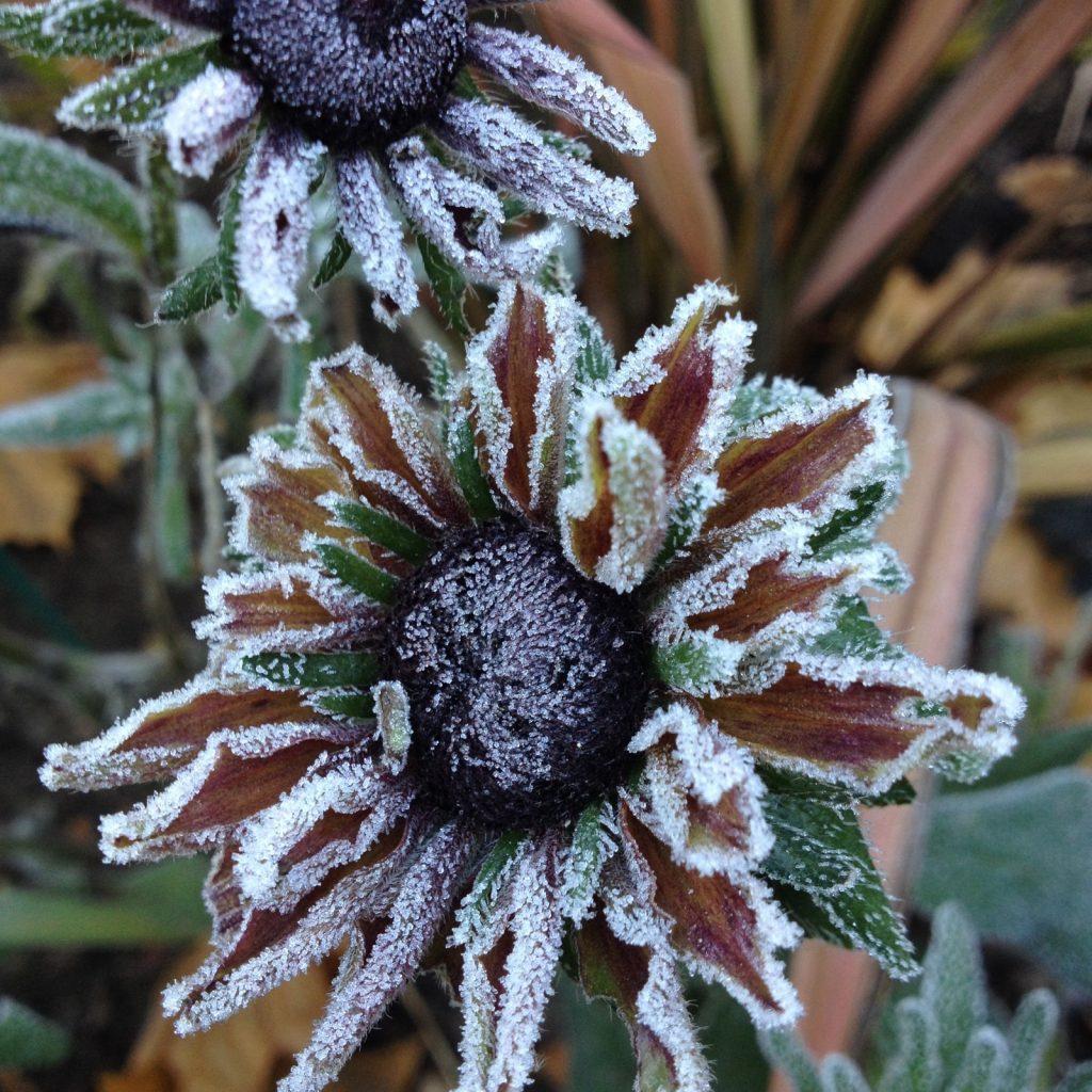 frost-nov-echinacea