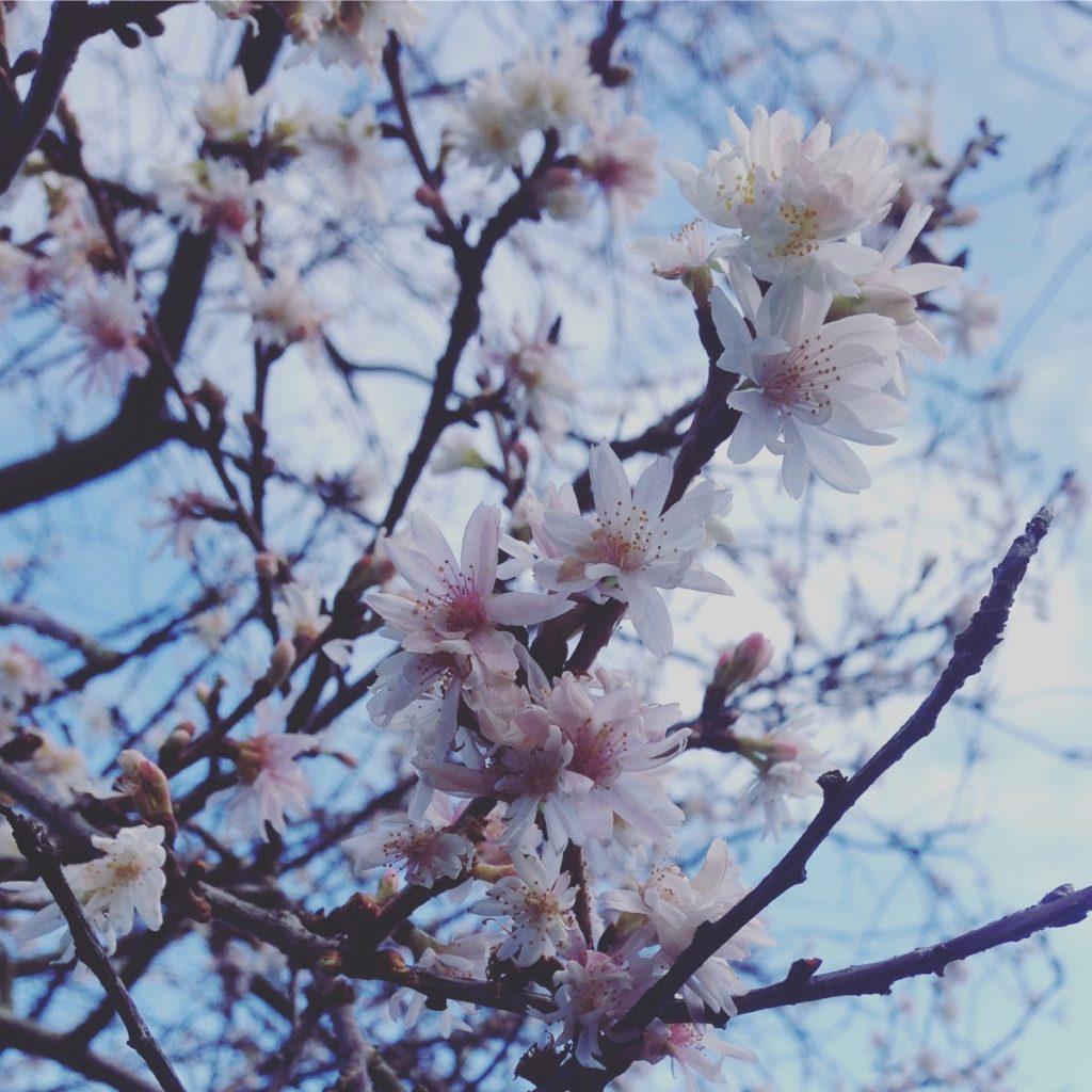 Winter Cherry Blossom To Banish Your Blues The Small Gardener